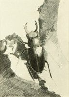 Stag Beetle   Pencil   1984   Private Collection