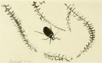 Stag Beetle Study   Pencil on Paper   1975   10 x 18 cms   Private Collection EAW